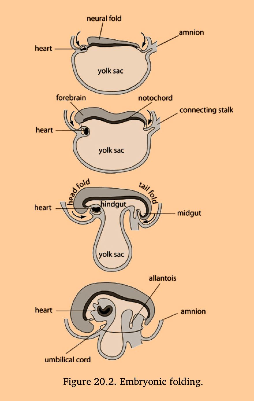 Sills, Franklyn, Foundations in Craniosacral Biodynamics, Vol .1: The Breath of Life and Fundamental Skills (2011)